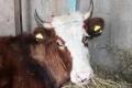 """Менеджеры АО """"ЕЭК"""" подарили корову многодетной матери-одиночке"""
