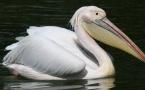 Суд отпустил мучителя пеликана