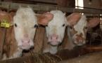 В Прииртышье работают над улучшением породных качеств коров