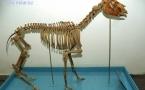 Скелет трехпалой лошади гиппариона, не будет передан столичному музею