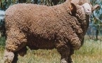 Казахские селекционеры вывели породу барана с весом в 120 килограммов