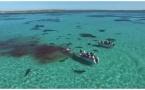 У берегов Австралии 70 акул растерзали кита