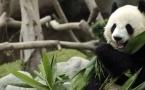 Казахстанцев зовут в Китай посмотреть на панд