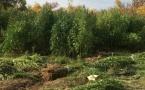 Плантация конопли на 50 миллионов тенге обнаружена в ЗКО