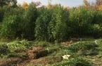 Плантация конопли на 50 миллионов тенге обнаружена…