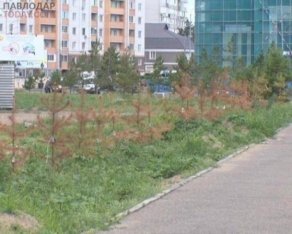 В Павлодаре около 40 молодых сосен погибли, спустя три месяца после пересадки