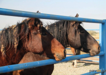"""Табун лошадей пугает дачников павлодарского садоводства """"Надежда"""""""