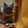 Отдам в хорошие руки персидского кота