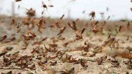 Казахстан и Россия объединяются в борьбе против саранчи