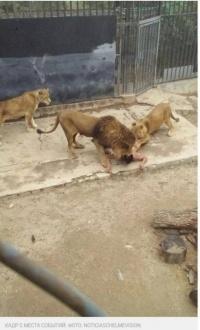 Появились кадры с места жуткого происшествия в зоопарке Чили (18+)