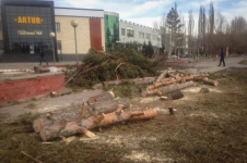 В Павлодаре в год экологии продолжают массово вырубать деревья