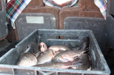Более 100 кг карасевых, добытых браконьерским образом, обнаружили павлодарские полицейские во время рейда