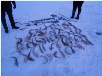 20 килограммов стерляди наловили браконьеры в Павлодарском районе