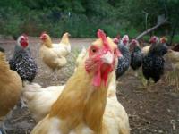 Павлодарская область признана самой обеспеченной куриным мясом в стране