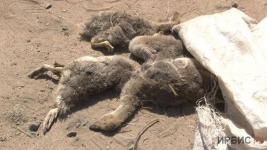 Домашнюю птицу в Павлодарском заедает гнус