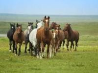 Пастух из Павлодарской области исчез вместе с лошадьми