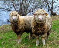 Животноводы района Аккулы хотят разводить тонкорунных овец по госпрограмме
