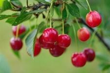 О вишневом оазисе в городе мечтает пенсионер из Павлодара