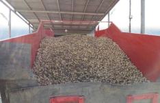 В Павлодарском районе прогнозируют собрать картофеля больше, чем в прошлом году