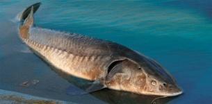 В водоемах Павлодарской области почти не осталось рыбы ценных пород