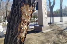 Неизвестные повредили деревья в павлодарском парке Победы
