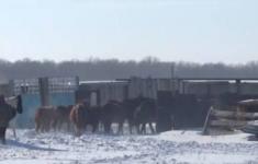 Жителя Павлодарской области наказали за бесконтрольные прогулки лошадей