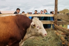 Самого большого быка Прииртышья представил Железинский район на фестивале Ұлы дала елі