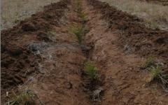 Временный лесопитомник появился в селе Павлодарское
