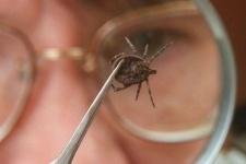 Павлодарские клещи не представляют энцефалитной опасности
