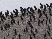 """В ВКО рыбаки ополчились на бакланов и просят акима дать """"добро"""" на отстрел птиц"""
