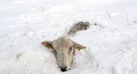 Похолодание в Павлодарской области «убило» пятьсот овец