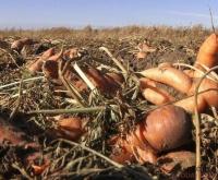 Морковь до сих пор на черноярских полях