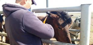 Во избежание ДТП с участием животных в Экибастузе на лошадей надевают светоотражающие ошейники