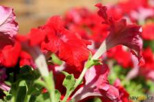 В Павлодаре заменят около 40 процентов цветов на улицах
