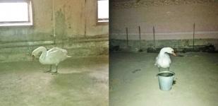 Павлодарский лесхоз спас раненого лебедя
