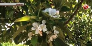 В Шымкенте опять зацвела яблоня