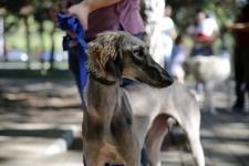 На площадке павлодарского университета прошла выставка собак породы тазы