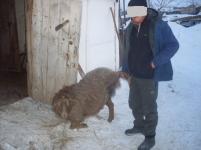 Сельчанину вернули трех украденных у него овец