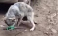 Живодеров в Мангистауской области будут судить за издевательства над волком