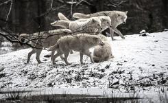 Волки растерзали овец в Павлодарской области