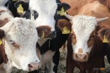 Скот в Павлодарской области впервые начали прививать от нодулярного дерматита