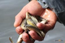Приростом рыбы на реке Усолка занялись сотрудники Казахстанского электролизного завода