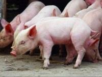 В Павлодаре готовятся к запуску нового комплекса по откорму свиней