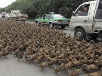 """""""Утиная армия"""" парализовала движение на дороге в Китае"""