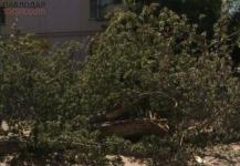 Обрезкой деревьев в северной части Павлодара занялись с запозданием на несколько месяцев