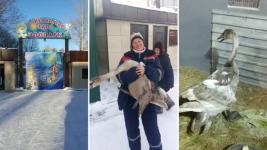 Выжившего после отстрела лебедя поселили в карагандинском зоопарке
