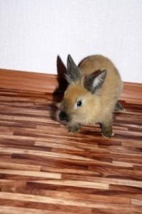 Продам декоративного кролика.