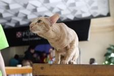 Котята-белоснежки (орики и сиамы!) много фоток
