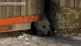Барымтачи в Павлодарской области подсыпают сторожевым собакам снотворное