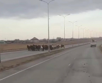 Лошади, забредшие на трассу в пригороде Павлодара, мешали движению транспорта